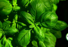 basil-benefits-and-uses