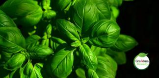 basil-benefits-and-uses